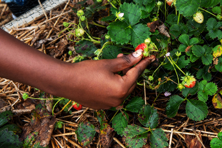 A person picks a strawberry at the Unity Fridge garden