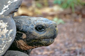 1st tortoise head shot Santa Cruz.jpg