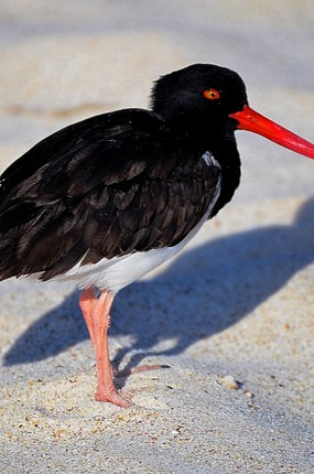 American Oystercatcher close up San Cristobal Island.jpg