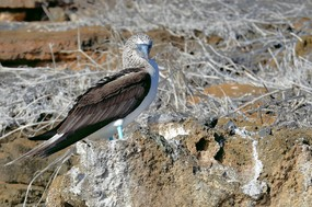 Blue footed booby 2 Floreana Island.jpg