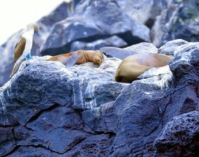 Blue-footed booby and fur seals San Cristobal Island.jpg