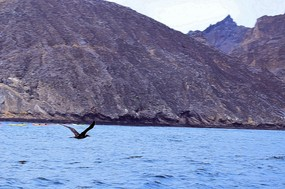 Blue-footed booby in flight San Cristobal.jpg