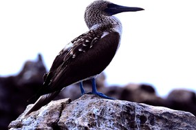 Blue-footed booby San Cristobal Island (2).jpg
