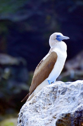 Blue-footed booby San Cristobal Island.jpg