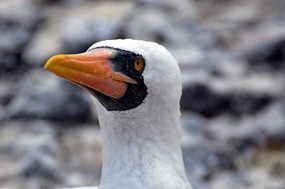 Close up Nazca booby Espanola Island.jpg