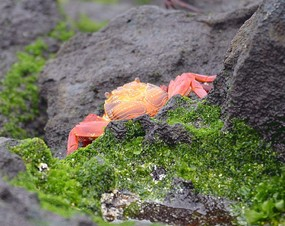 Sally Lightfoot Crab  Espanola Island.jpg