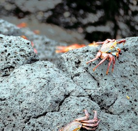 Sally Lightfoot Crabs Floreana Island.jpg