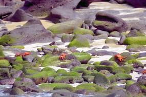 Sally Lightfoot crabs San Cristobal Island.jpg