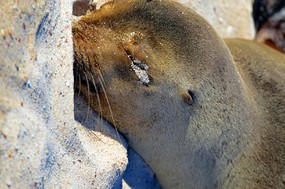 Sea lion close up San Cristobal Island.jpg