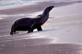 Sea lion exiting ocean San Cristobal Island.jpg
