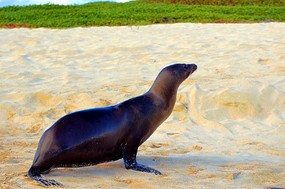 Sea lion moving out San Cristobal Island.jpg