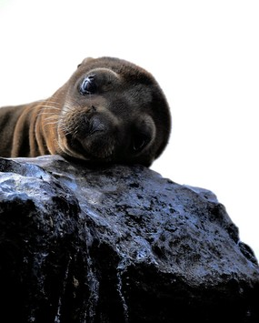 Sea lion pup San Cristobal Island.jpg