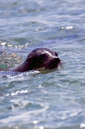 sea lion swimming 2 San Cristobal Island.jpg