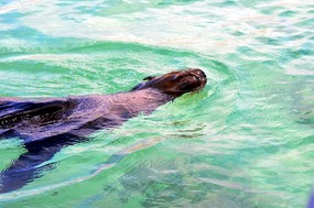 sea lion swimming on back San Cristobal Island.jpg