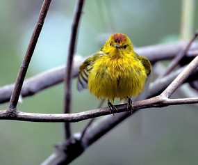yellow warbler 4 ranch Santa Cruz.jpg