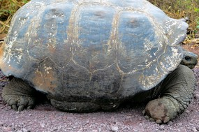 !st tortoise approx 125 yrs 500lbs - Copy.jpg