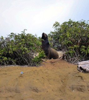 Young male sea lion on beach San Cristobal Island.jpg