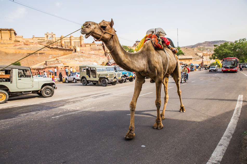 Camel Outside the Amber Fort