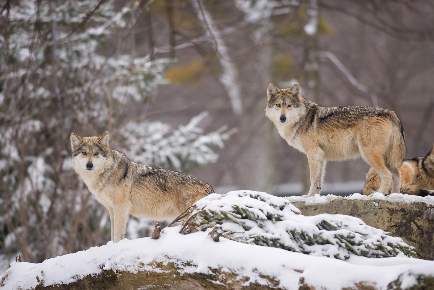 The wolves of Yellowstone - The Ohio State University Alumni ...
