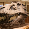 A Jurassic dinosaur skull is on display at the Orton Geological Museum. It is free to visit.