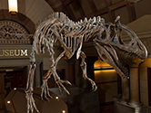 Dinosaur skeleton in Orton Hall